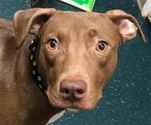 Adopt Tessa a American Staffordshire Terrier, Weimaraner