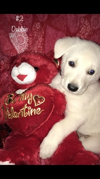 German Shepherd Dog PUPPY FOR SALE ADN-61376 - White German Shepherd