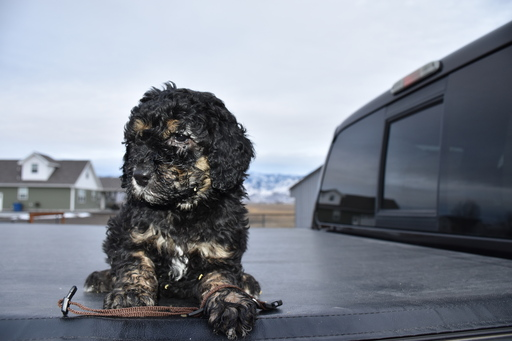 Poodle (Standard)-Gordon Setter Mix PUPPY FOR SALE ADN-63795 - Gordon Doodles