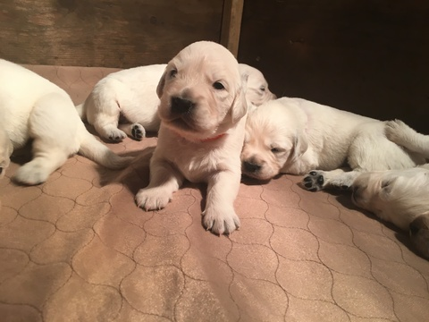 Golden Retriever PUPPY FOR SALE ADN-63195 - AKC Registered English Cream Golden