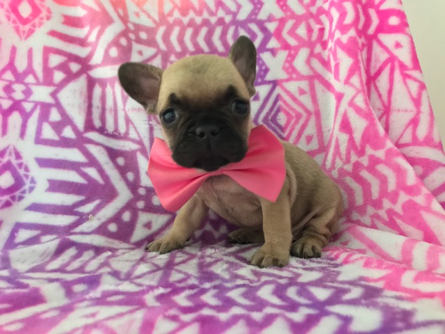 French Bulldog PUPPY FOR SALE ADN-61341 - AKC Leila