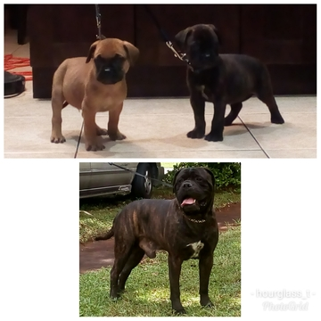 Bullmastiff PUPPY FOR SALE ADN-63780 - Bullmastiff