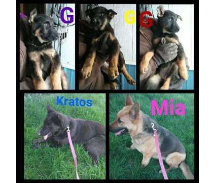AKC german shepherd 13 weeks old females
