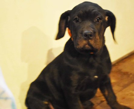 Cane Corso PUPPY FOR SALE ADN-63769 - ACA Kim