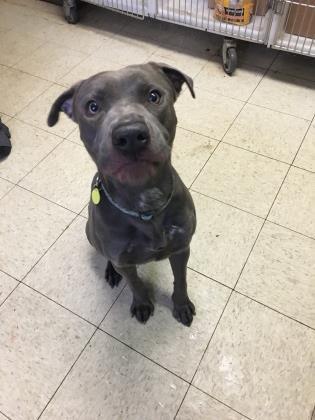 Adopt Hurricane a Terrier, Pit Bull Terrier