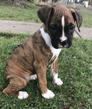Boxer PUPPY FOR SALE ADN-60648 - AKC Boxer Puppies