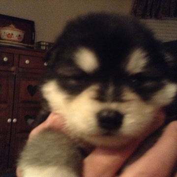 Alaskan Malamute PUPPY FOR SALE ADN-61712 - Males females