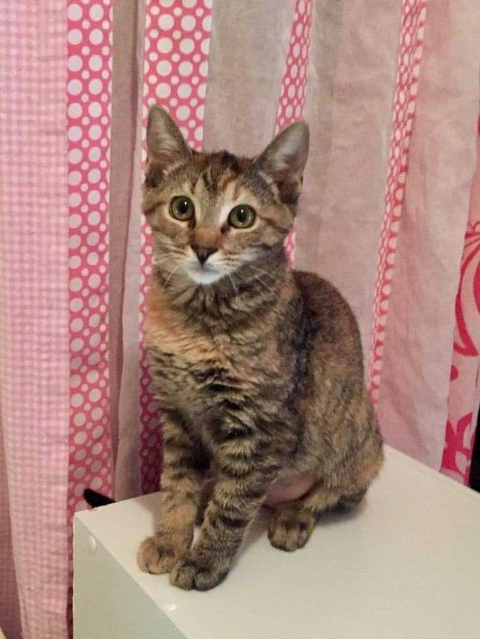 Adopt Pecan a Domestic Short Hair