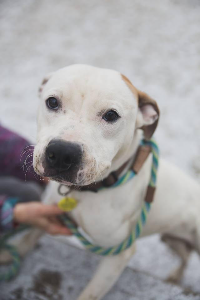 Adopt Frances a Terrier, Pit Bull Terrier