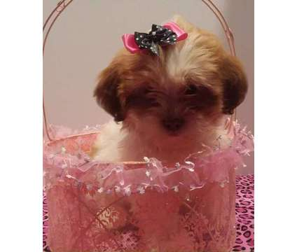 Adorable Teddy Bears puppies (Shih Tzu + Bichon mix) 8 weeks