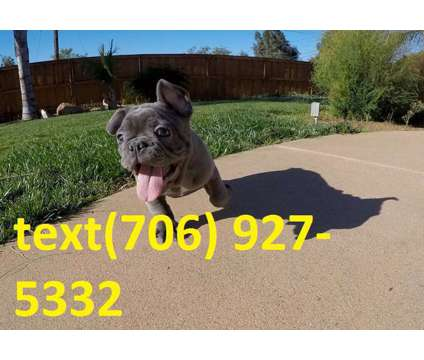 yjfgjfgjfg Blue French Bulldog Puppies For Sale
