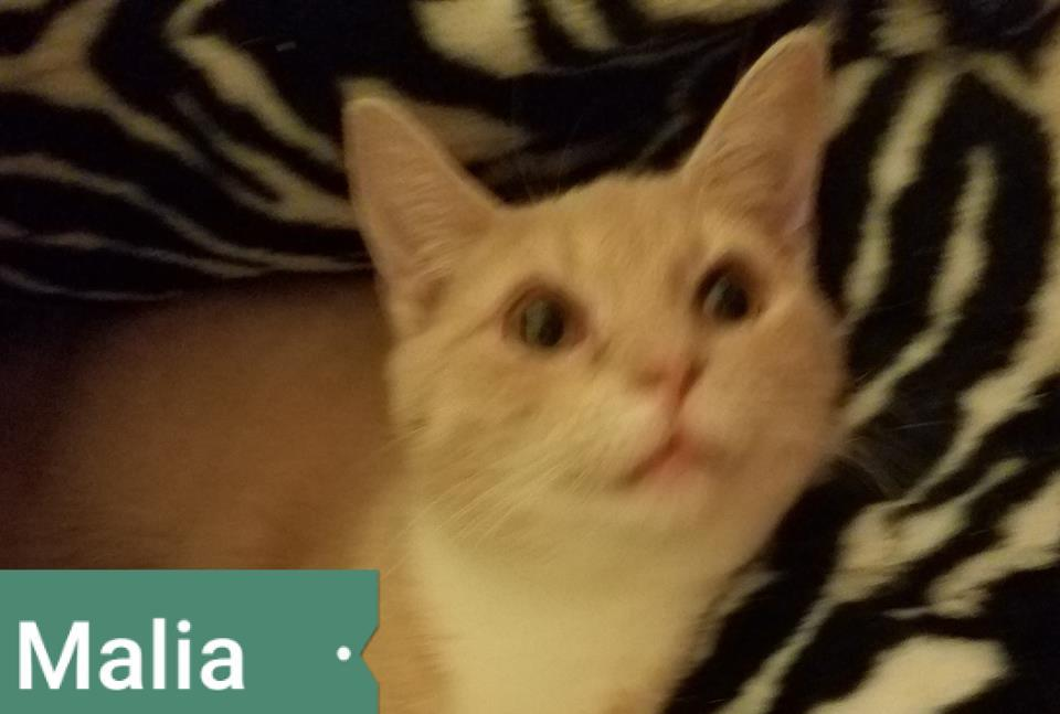 Adopt Malia a Domestic Short Hair
