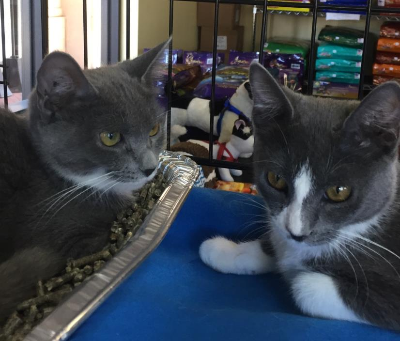 Adopt Ann & Melissa a Domestic Short Hair