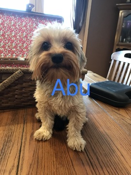 Yorkshire Terrier PUPPY FOR SALE ADN-63189 - Sweet Yorkie Abu