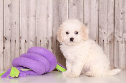Cavapoo PUPPY FOR SALE ADN-61689 - Spirit Male Cavapoo