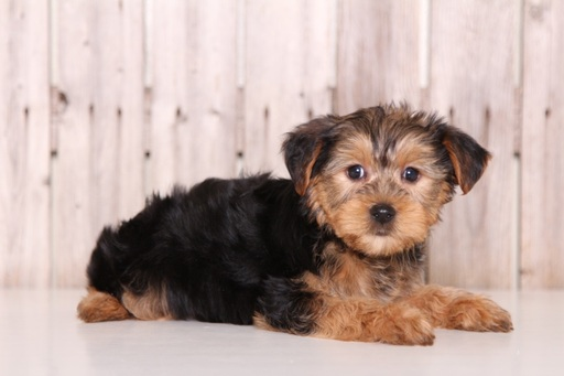 Yorkshire Terrier PUPPY FOR SALE ADN-61688 - Woody Male Yorkie