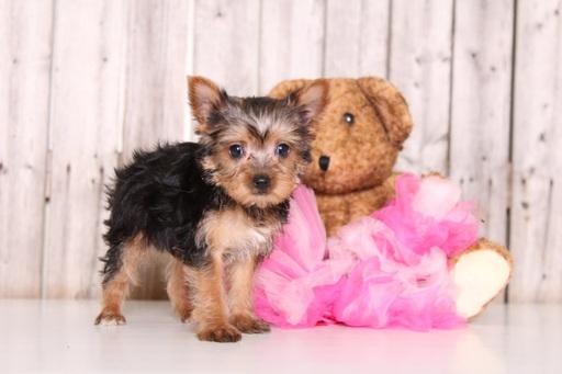 Yorkshire Terrier PUPPY FOR SALE ADN-61687 - Foxy Female Yorkie