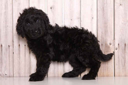 Goldendoodle PUPPY FOR SALE ADN-61335 - Maple Female Goldendoodle