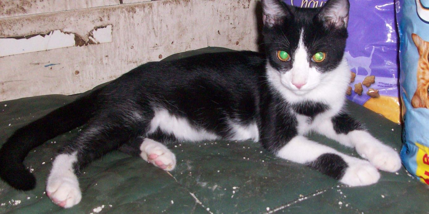 Adopt Tux a Black & White or Tuxedo Domestic Shorthair (short coat) cat in