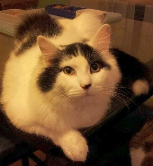 Adopt Sully a Black & White or Tuxedo Domestic Shorthair / Mixed (short coat)