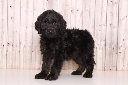 Goldendoodle PUPPY FOR SALE ADN-61333 - Trooper Male Goldendoodle