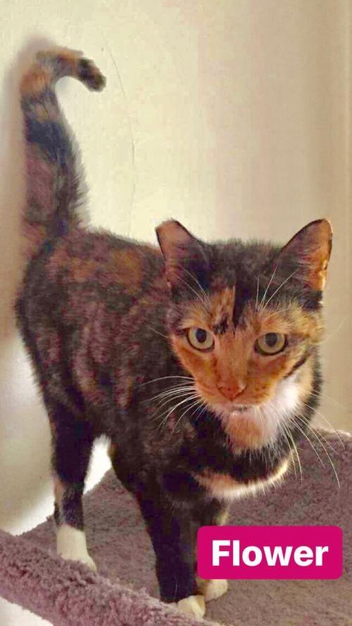 Adopt FLOWER a Tortoiseshell Calico / Mixed (short coat) cat in Orlando