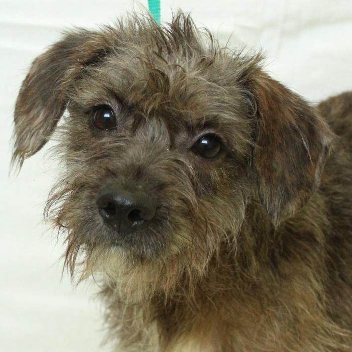Adopt Kimmy a Wirehaired Terrier