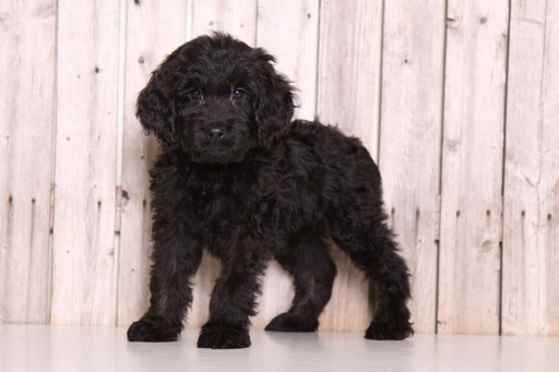 Goldendoodle PUPPY FOR SALE ADN-61332 - Taz Male Goldendoodle