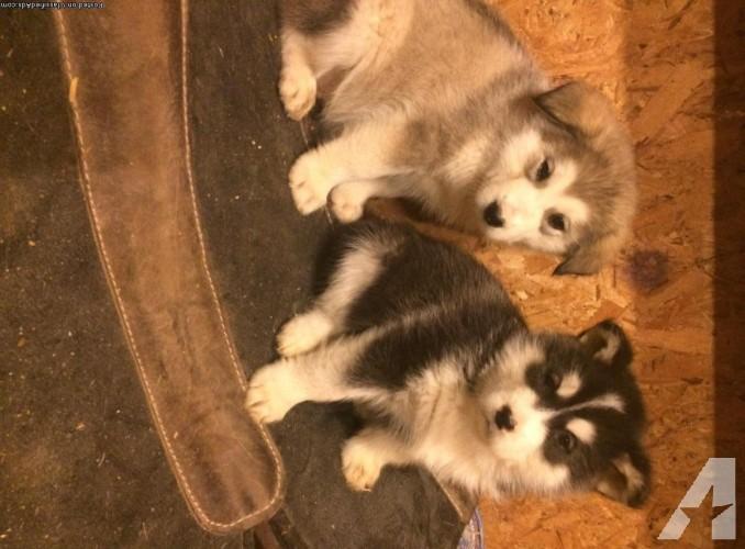 Alaskan Malamute pups