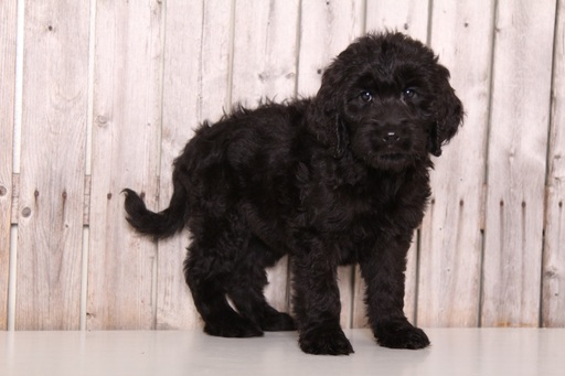 Goldendoodle PUPPY FOR SALE ADN-61331 - Arrow Male Goldendoodle