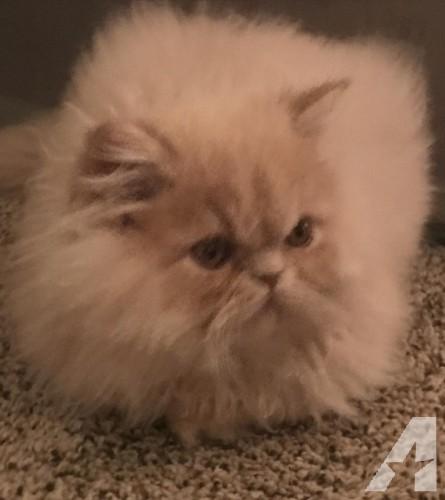 Award Winning Pure Persia Kittens