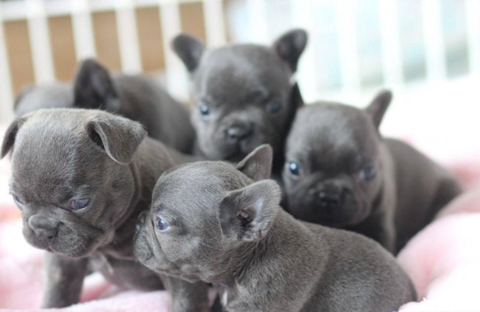 AKC Micro French Bulldog Puppies (Frenchie) Now Ready