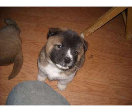 Chow / Akita pupies 8 weeks