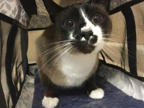 Adopt BABY a Domestic Mediumhair / Mixed (medium coat) cat in Tacoma