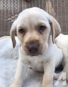 Sweet Labrador Puppies!
