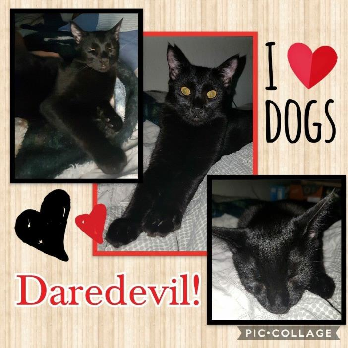 Adopt Daredevil a Domestic Short Hair