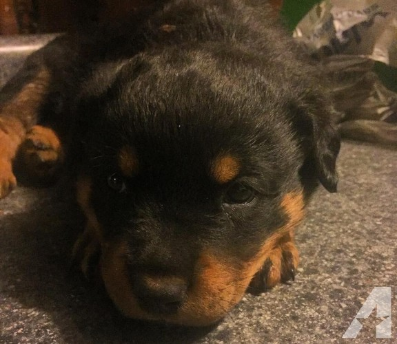We have cute and lovely Rottweiler pups