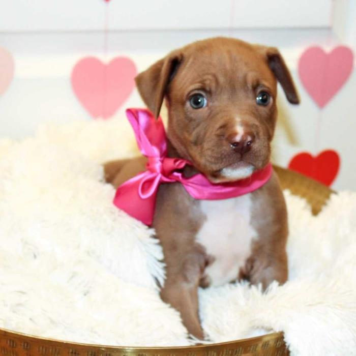 Adopt Doll Face a Brown/Chocolate - with White Labrador Retriever / Pit Bull