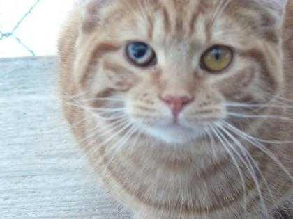 Adopt Archie a Orange or Red Domestic Shorthair / Domestic Shorthair / Mixed cat