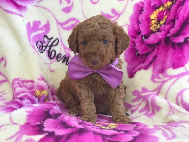 Poodle (Miniature)-Goldendoodle Mix PUPPY FOR SALE ADN-63182 - Autumn F2b Mini