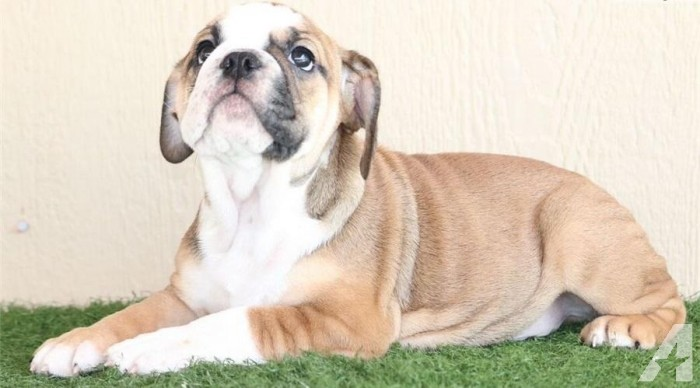 Two adorable English Bulldog Puppies 10 week old puppies
