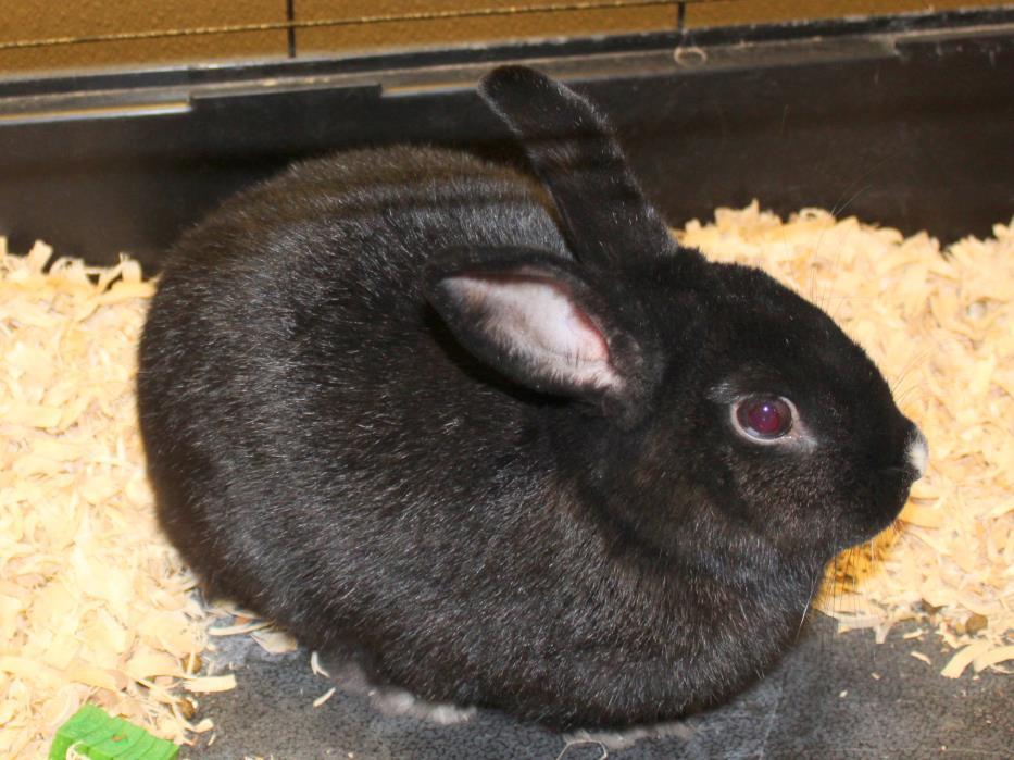 Adopt Bugs Luann McHops a Black Dwarf / Mixed (short coat) rabbit in Yucca