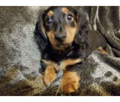 Dachshunds. Price reduced