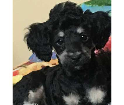 Phantom female toy poodle