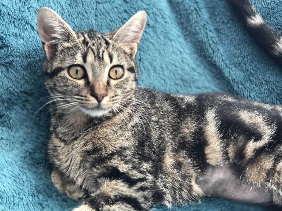 Adopt SHIRLEY - GIVE ME A CHANCE! a Brown Tabby Domestic Shorthair (short coat)