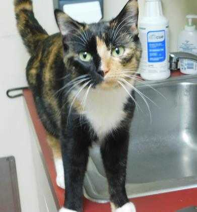 Adopt Ginger a All Black Domestic Shorthair / Domestic Shorthair / Mixed cat in