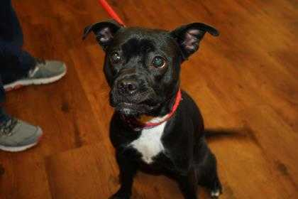 Adopt Lola a Black Boston Terrier / Labrador Retriever / Mixed dog in