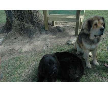 Tibetian Mastiff Puppies Champion Bloodlines