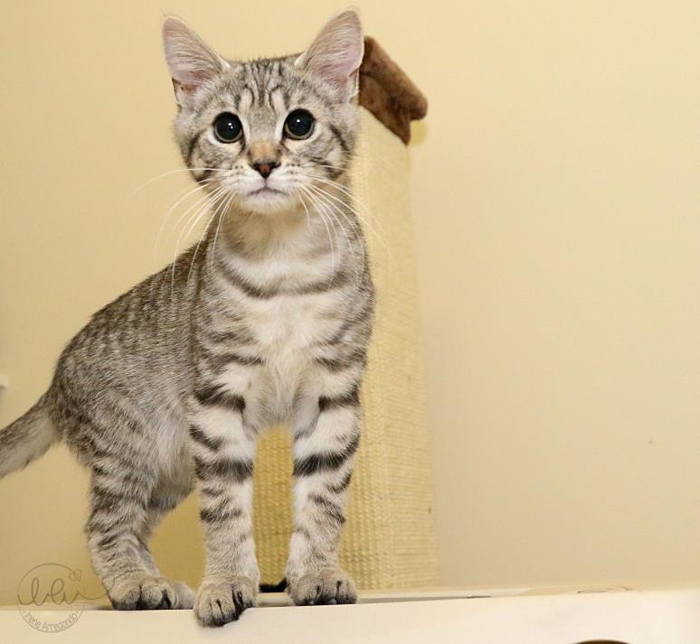 Adopt Ryker a Gray, Blue or Silver Tabby Domestic Shorthair (short coat) cat in