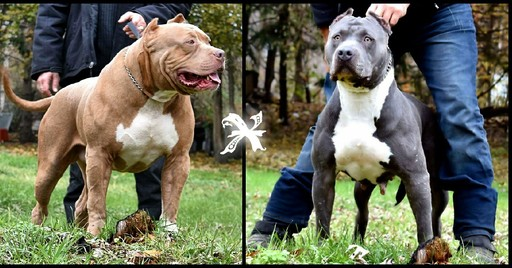 American Pit Bull Terrier PUPPY FOR SALE ADN-60674 - UKC Pitbull ABKC American